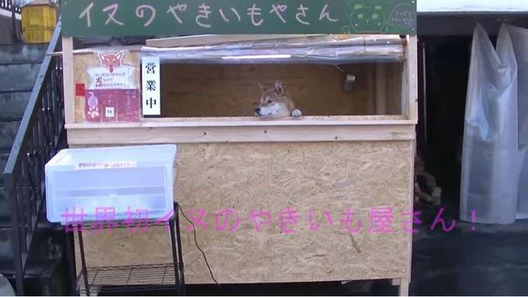 Độc đáo cửa hàng bán khoai được quản lý bởi 1 con chó - ảnh 1