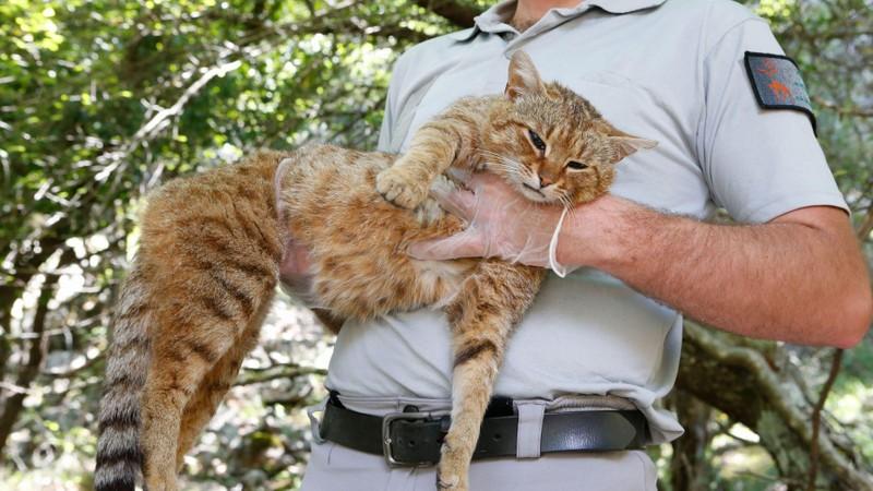 Phát hiện mèo cáo linh thiêng, nghi loài mới - ảnh 1