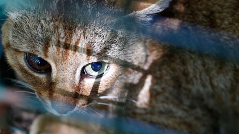 Phát hiện mèo cáo linh thiêng, nghi loài mới - ảnh 2