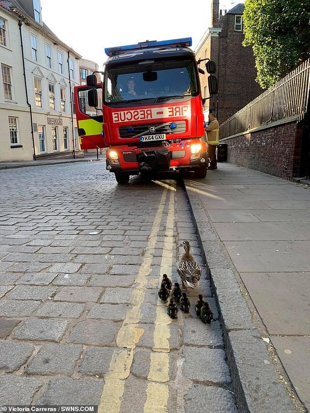 Huy động lính cứu hỏa giải cứu bốn chú vịt con rơi xuống cống - ảnh 2