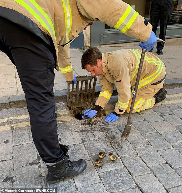 Huy động lính cứu hỏa giải cứu bốn chú vịt con rơi xuống cống - ảnh 1