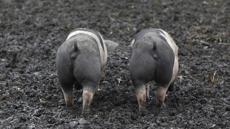 Trung Quốc ngưng nhập khẩu heo, nông dân  Đức khốn cùng - ảnh 1