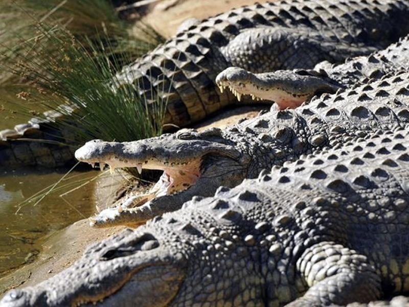 Dân lo sợ khi 1 bầy cá sấu xổng chuồng ở Nam Phi - ảnh 1