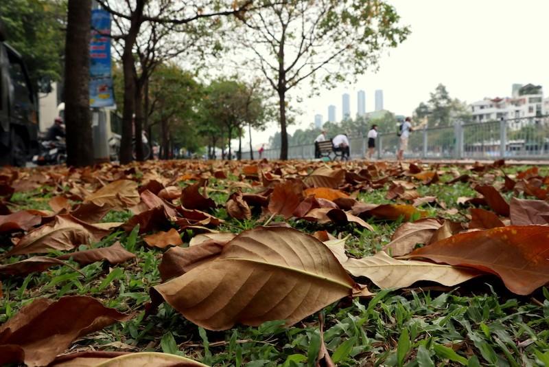 Ngắm lá lộc vừng vàng rộ cuối mùa ở Sài Gòn - ảnh 5
