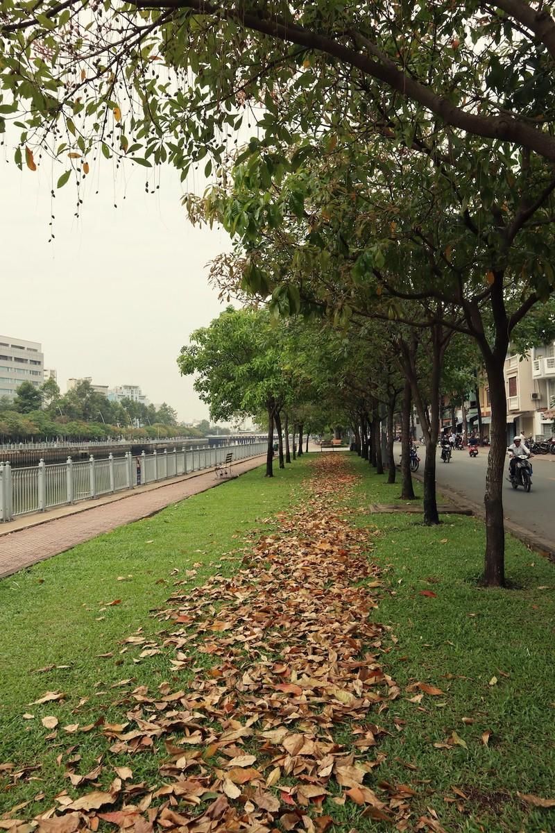 Ngắm lá lộc vừng vàng rộ cuối mùa ở Sài Gòn - ảnh 6