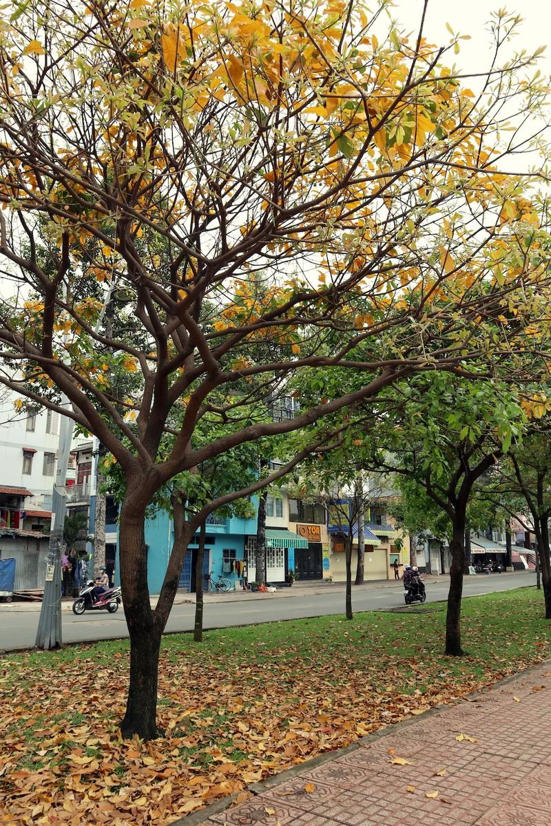 Ngắm lá lộc vừng vàng rộ cuối mùa ở Sài Gòn - ảnh 3