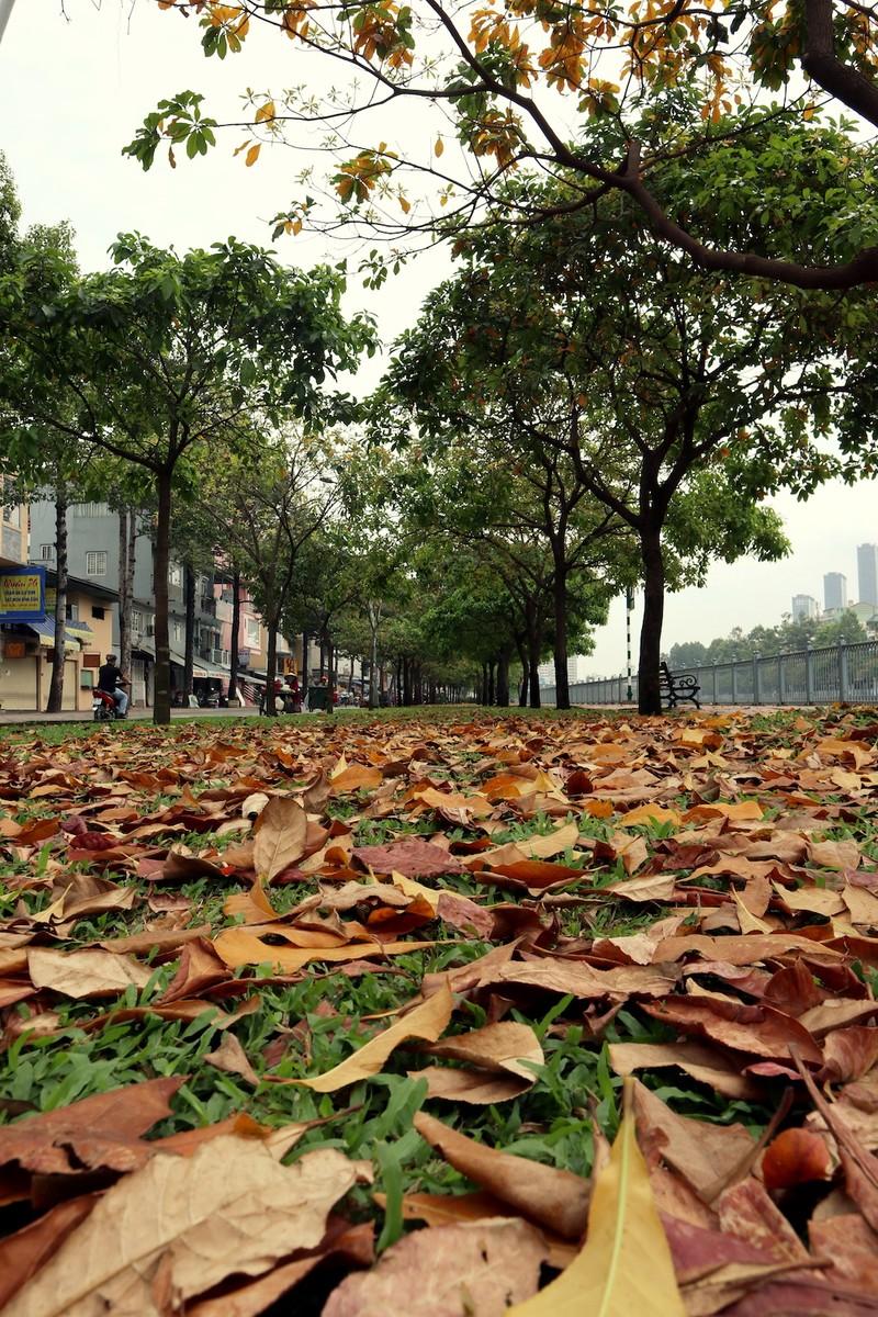 Ngắm lá lộc vừng vàng rộ cuối mùa ở Sài Gòn - ảnh 2