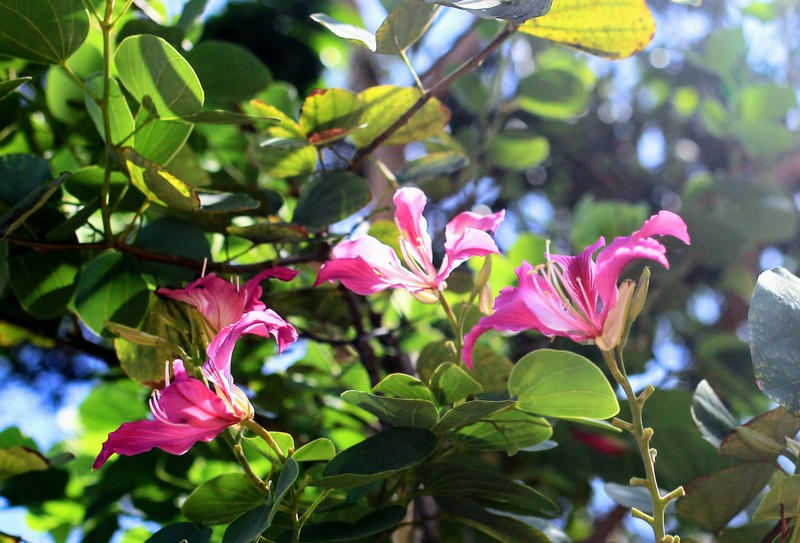 Về xứ Phan ngắm hoa ban đỏ rợp trời  - ảnh 1
