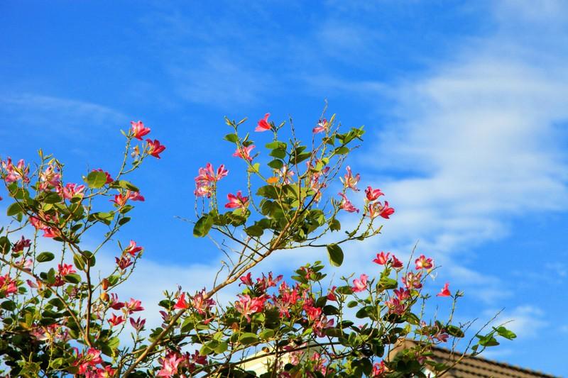 Về xứ Phan ngắm hoa ban đỏ rợp trời  - ảnh 2