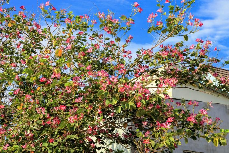 Về xứ Phan ngắm hoa ban đỏ rợp trời  - ảnh 4