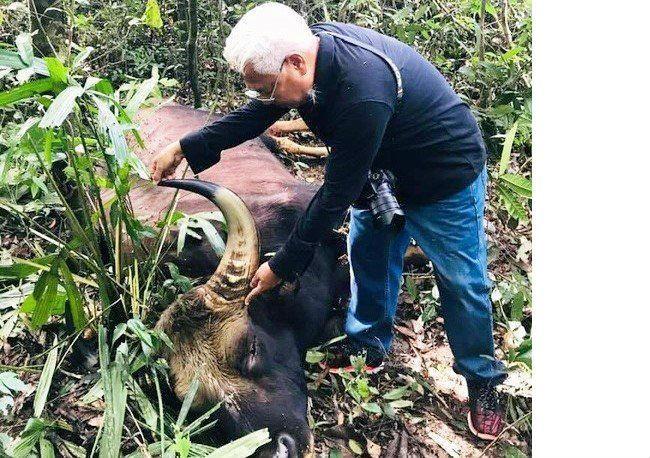 Bò tót nặng 800 kg chết ở Đồng Nai 'có thể do già yếu' - ảnh 1