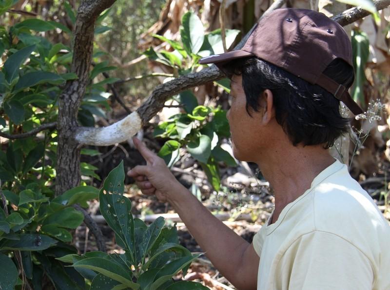 Đồng Nai: Hàng trăm cây bơ bị hạ độc  - ảnh 1