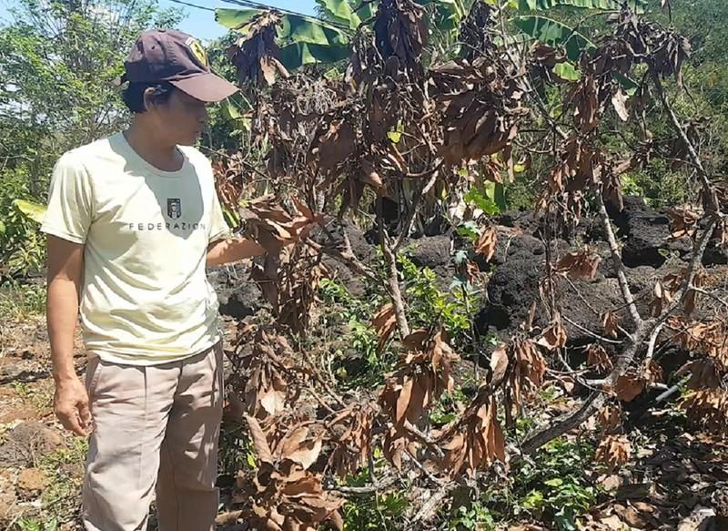 Vườn bơ bị hạ độc, chủ vườn 'cầu cứu' GĐ Công an Đồng Nai - ảnh 1