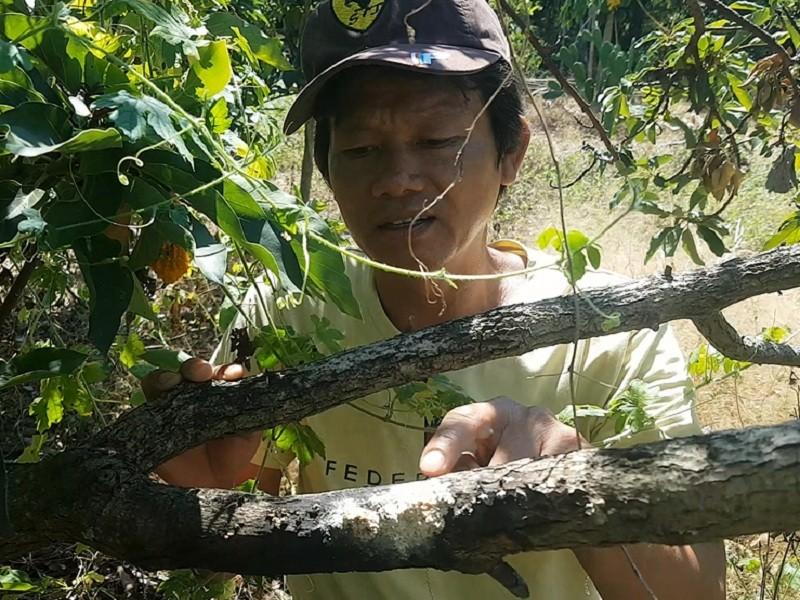 Vườn bơ bị hạ độc, chủ vườn 'cầu cứu' GĐ Công an Đồng Nai - ảnh 2