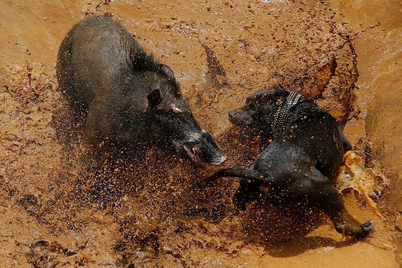 'Adu Bagong', lợn rừng và đấu trường sinh tử đẫm máu - ảnh 1