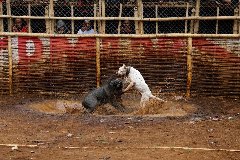 'Adu Bagong', lợn rừng và đấu trường sinh tử đẫm máu - ảnh 5