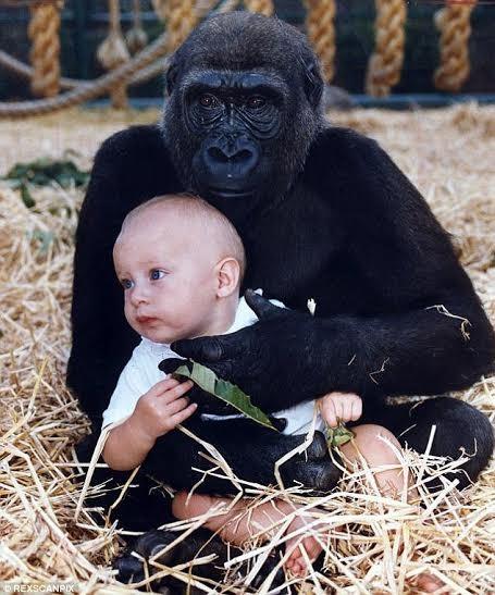 """""""Đoàn tụ"""" cảm động của cô gái với khỉ đột sau 10 năm - ảnh 1"""