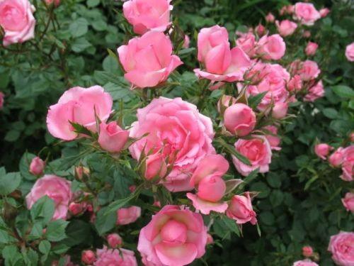 Bí quyết làm đẹp bằng hoa của Ấn Ðộ - ảnh 4