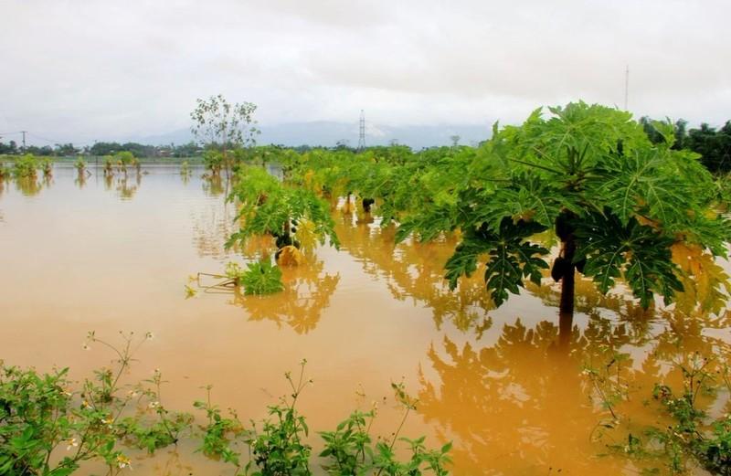 Cây trồng của người dân Đại Lộc ngập trong nước lũ.