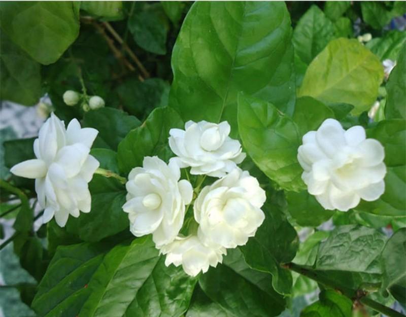 Mùi hương hoa nhài giúp giảm lo lắng, ngủ tốt