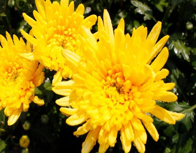 loại hoa được các thương lái đặt mua nhiều nhất tại vườn của anh là hoa cúc.