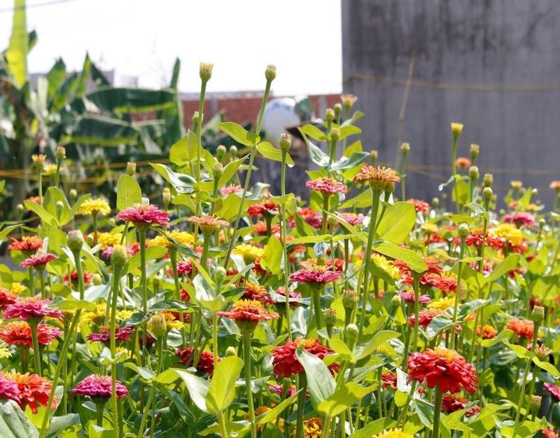 Những bông hoa được chăm sóc rất kỹ để bung hoa rực rỡ đúng dịp tết.