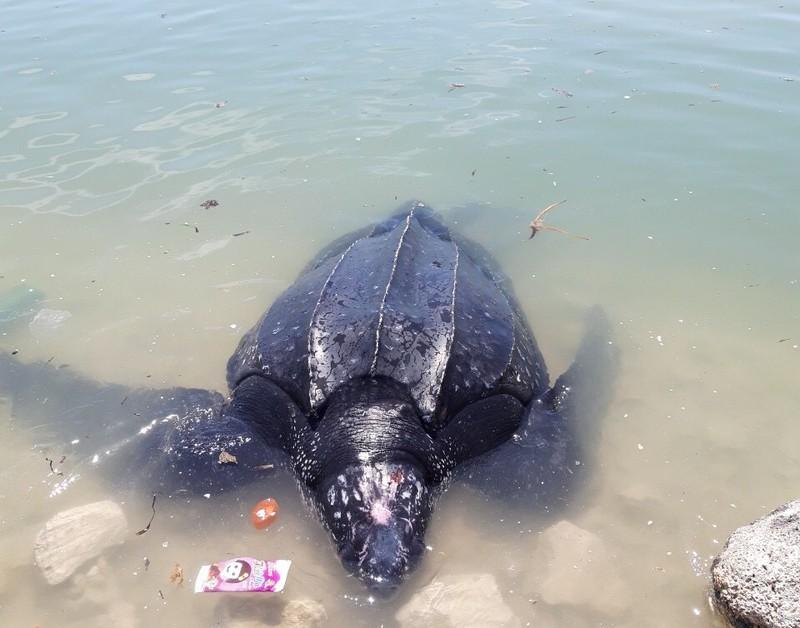 Rùa biển 300 kg mắc lưới ngư dân Lý Sơn - ảnh 1