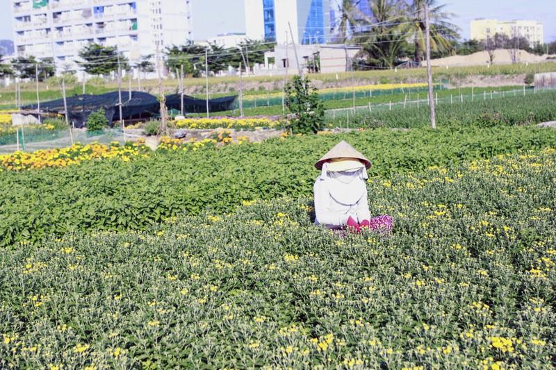 Làng hoa cúc vàng Mỹ Bình hối hả vào vụ Tết - ảnh 9