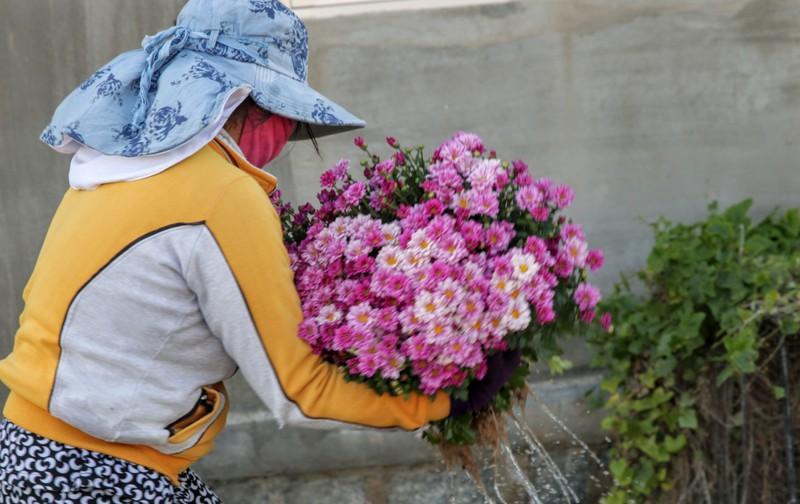Làng hoa cúc vàng Mỹ Bình hối hả vào vụ Tết - ảnh 6