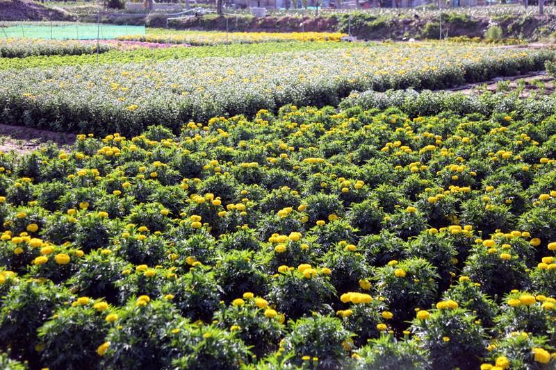 Làng hoa cúc vàng Mỹ Bình hối hả vào vụ Tết - ảnh 3