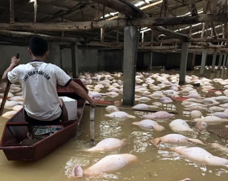 4.000 con heo chết đuối trong trang trại - ảnh 2