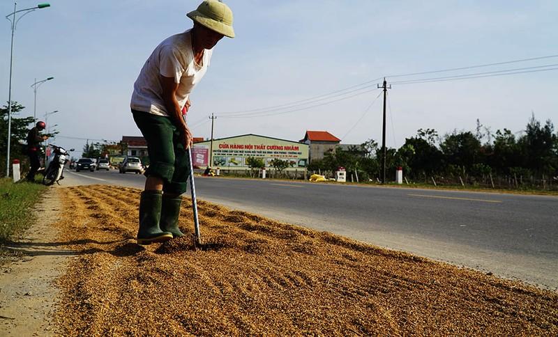 Người dân vùng lũ rớm nước mắt mang lúa nảy mầm ra phơi - ảnh 1