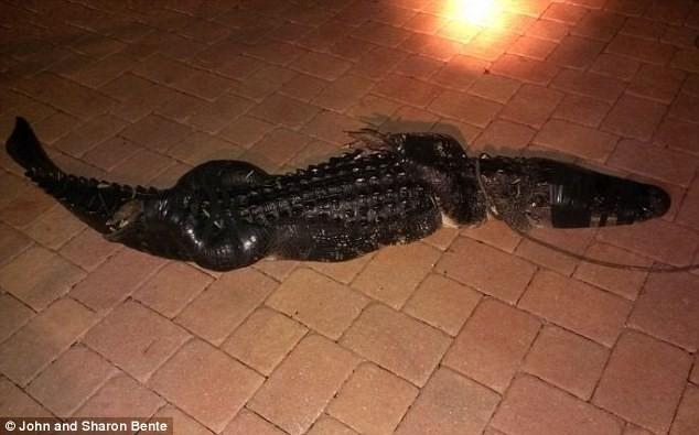 Tá hỏa khi thấy con cá sấu đang rình mồi trong bể bơi gia đình - ảnh 2