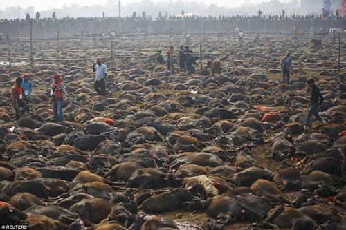 Nghi lễ 'thảm sát' hàng nghìn con trâu để hiến tế cho Nữ thần - ảnh 6