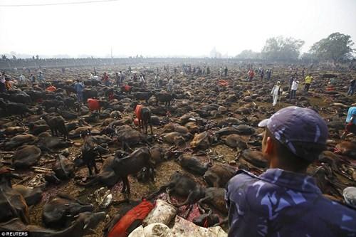 Nghi lễ 'thảm sát' hàng nghìn con trâu để hiến tế cho Nữ thần - ảnh 5