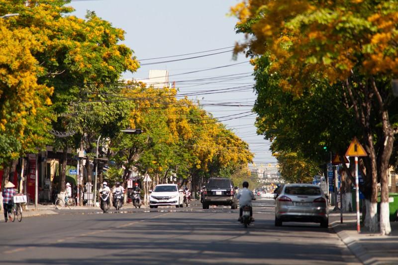 Ngắm hoa sưa vàng rực phố Tam Kỳ - ảnh 2