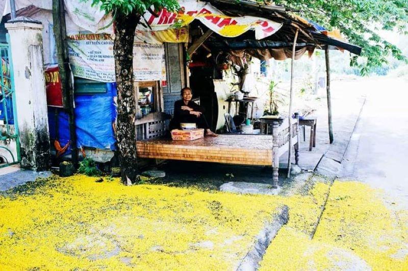Ngắm hoa sưa vàng rực phố Tam Kỳ - ảnh 3