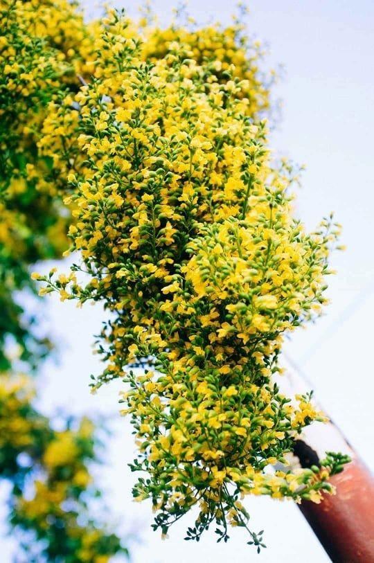 Ngắm hoa sưa vàng rực phố Tam Kỳ - ảnh 4
