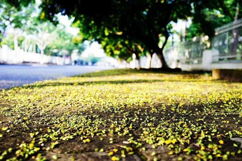 Ngắm hoa sưa vàng rực phố Tam Kỳ - ảnh 6