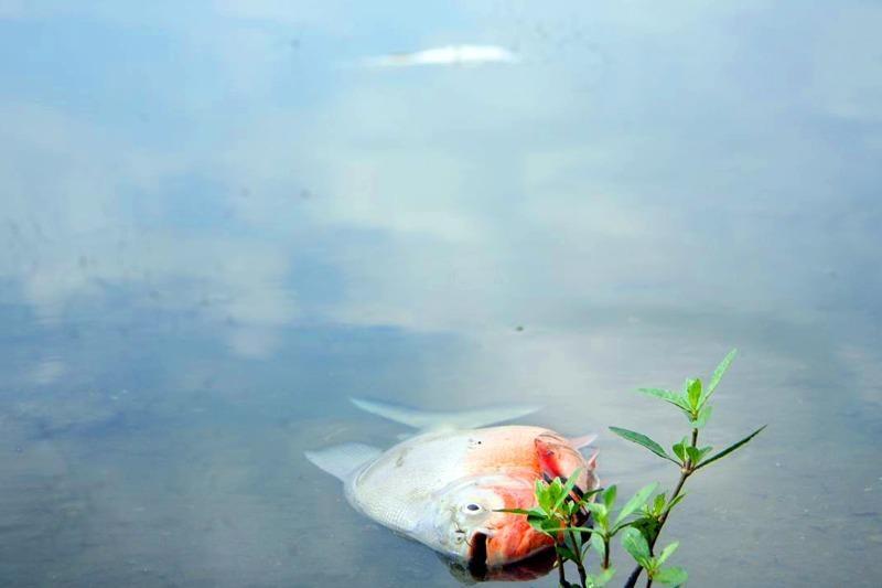Cá chết ở hồ Linh Đàm không nhiều như báo chí đưa tin - ảnh 2