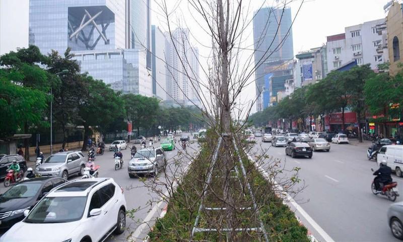 Thay thế toàn bộ cây phong lá đỏ trên đường Nguyễn Chí Thanh - ảnh 1