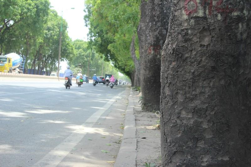Chặt 1.300 cây trên đường Phạm Văn Đồng để mở đường - ảnh 8