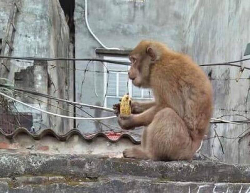 Khỉ hoang 'đại náo' nhà dân - ảnh 1