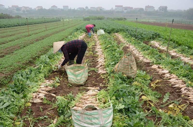Củ cải rớt giá thảm, nông dân vứt bỏ trắng cánh đồng - ảnh 2