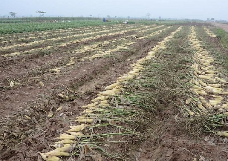 Củ cải rớt giá thảm, nông dân vứt bỏ trắng cánh đồng - ảnh 4