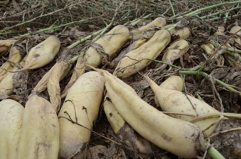 Củ cải rớt giá thảm, nông dân vứt bỏ trắng cánh đồng - ảnh 5