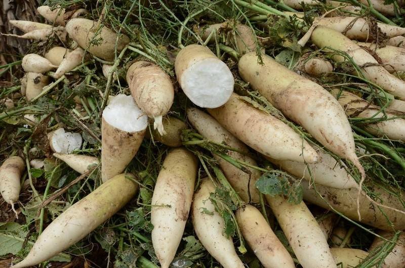 Củ cải rớt giá thảm, nông dân vứt bỏ trắng cánh đồng - ảnh 7