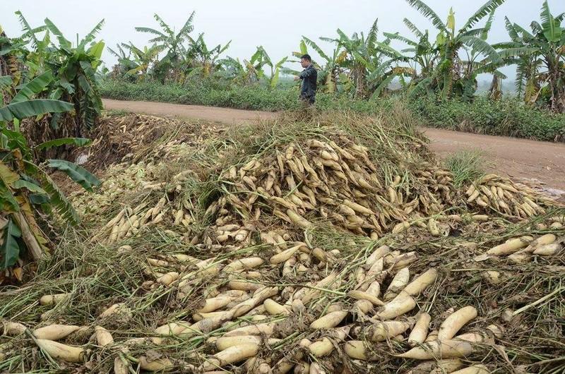 Củ cải rớt giá thảm, nông dân vứt bỏ trắng cánh đồng - ảnh 9