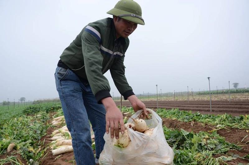Củ cải rớt giá thảm, nông dân vứt bỏ trắng cánh đồng - ảnh 10