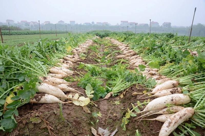 Củ cải rớt giá thảm, nông dân vứt bỏ trắng cánh đồng - ảnh 1